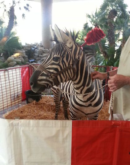 zebra for circus themed party