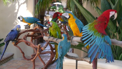 Parrots for event or party