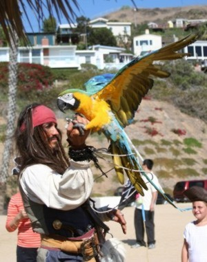 parrot show on the beach with pirate entertainer Captain Jack Sparrow impersonator - pirate actor
