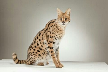 Serval Cat for rent