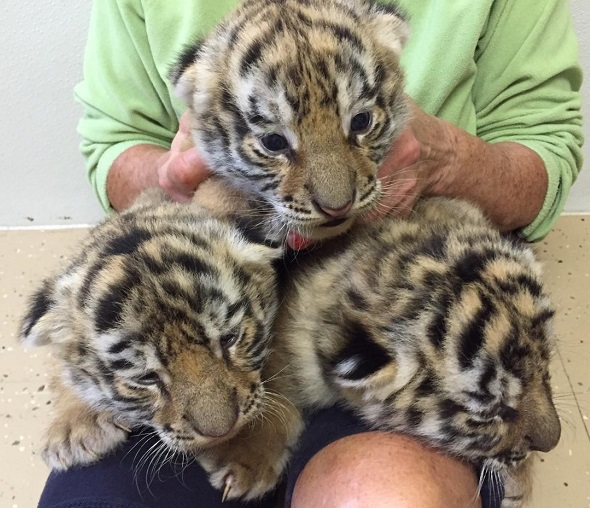 three tiger cubs for rent